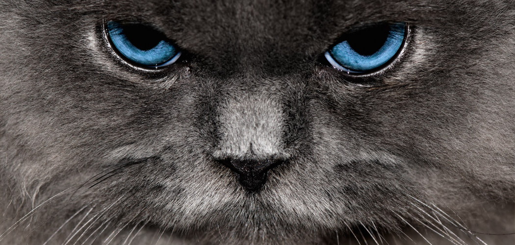 Blue Eyed Cat Face