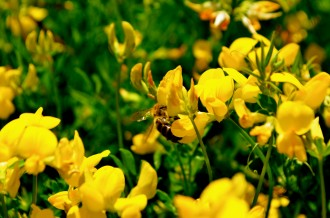 Bee in Yellow Flowers