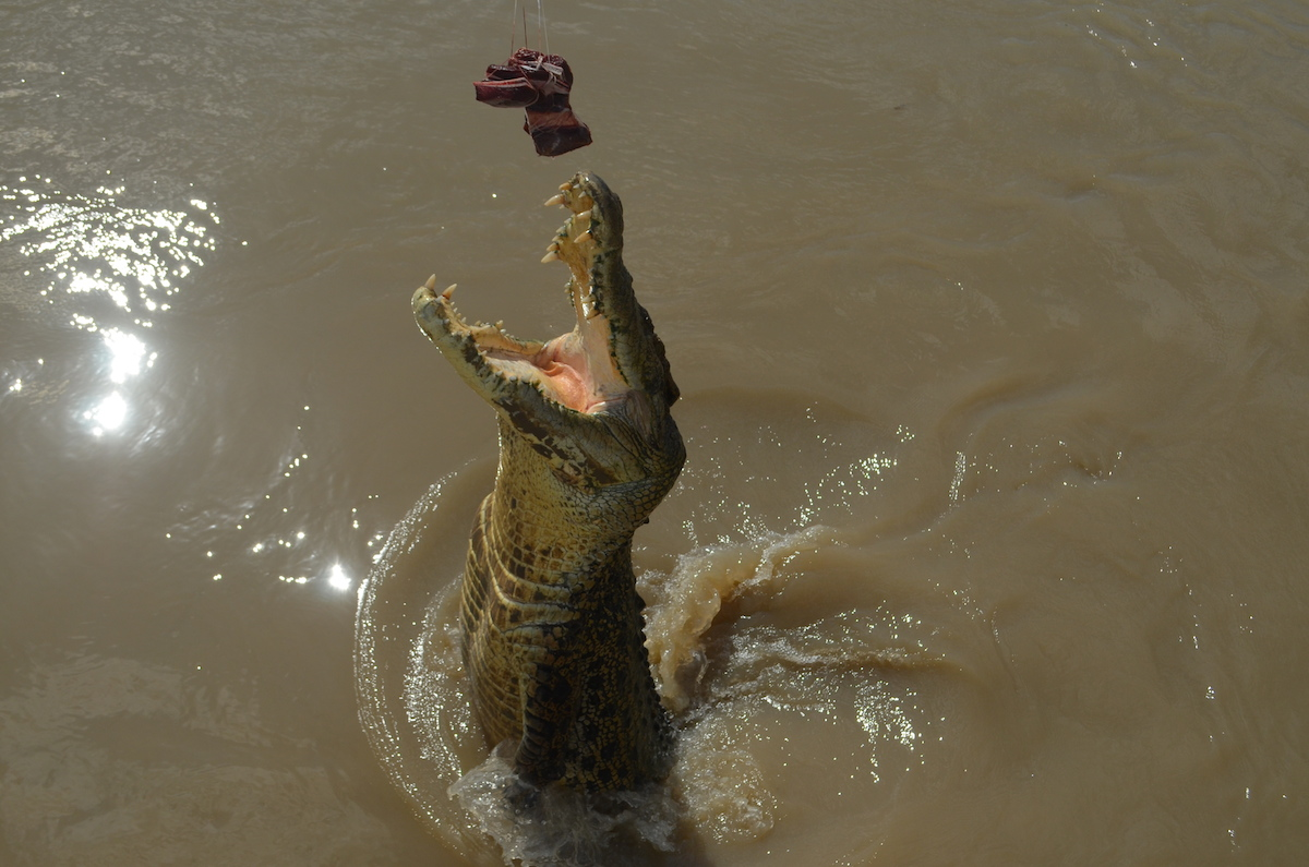 Jumping Saltwater Crocodile on Spectacular Jumping Crocodile Cruise